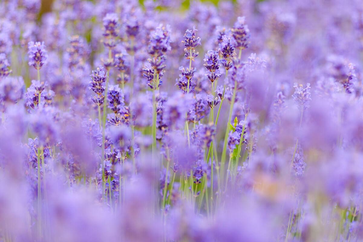 追隨春神的足跡:探訪苗栗賞花之旅